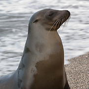 Galapagos Sea Lion (Zalophus californianus) female on beach. Galapagos Islands, Ecuador