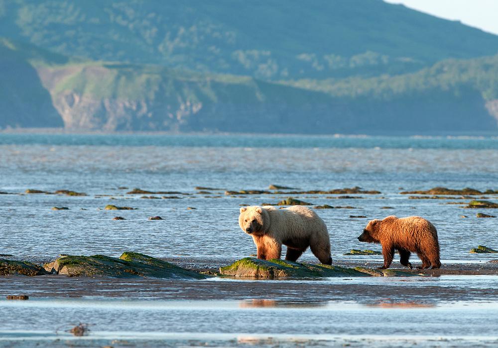 Brown Bear Foraging on ocean beach, Katmai National Park.