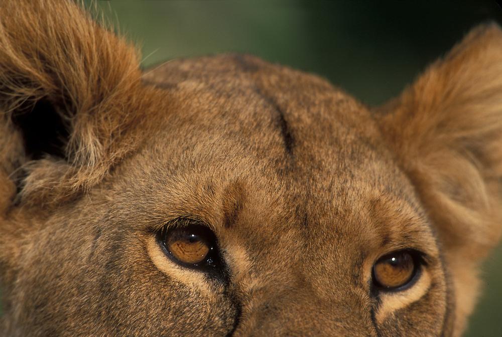 Africa, Kenya, Masai Mara Game Reserve, Close-up portrait of Lioness (Panthera leo) eyes and ears on savanna