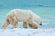 Old Polar Bear (Ursa maritimus) on sub-arctic Hudson Bay <br />