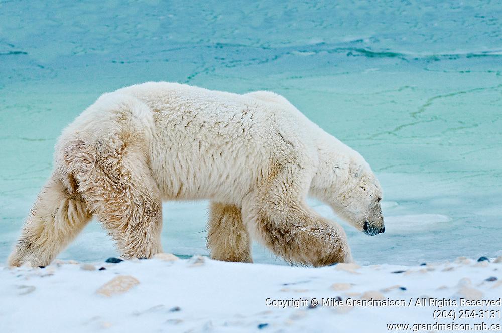 Old Polar Bear (Ursa maritimus) on sub-arctic Hudson Bay <br />Churchill<br />Manitoba<br />Canada