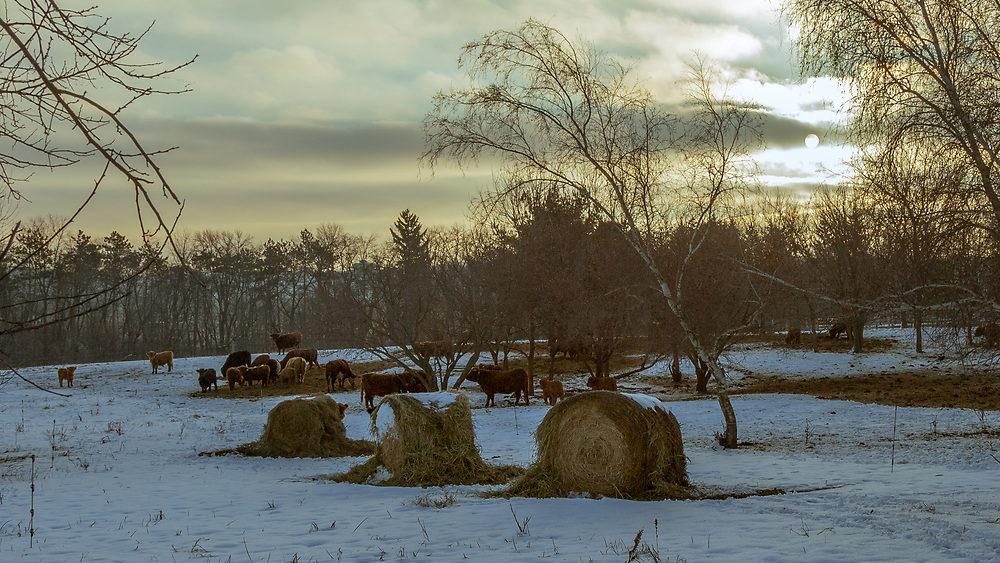Scottish Highlight Cattle on a winter's morning in a Wisconsin snow covered pasture.