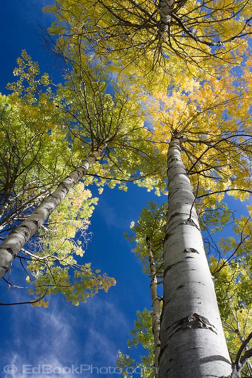 Looking up aspen to sky on Bethel Ridge, Wenatchee National Forest, Cascade Mountain Range, Washington, USA.