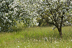 Spring blossom in the Orchard Meadow at Sissinghurst Castle Garden