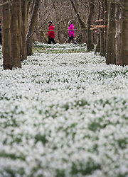 © Licensed to London News Pictures. 11/02/2018. Welford, UK. Snowdrops make a white carpet in the woods at Welford Park near Newbury. Welford Park, where The Great British Bake Off is filmed every summer, is only open for visitors for five weeks in the year - until March 5th. Photo credit: Ben Cawthra/LNP