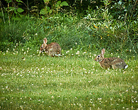 Rabbit. Image taken with a Nikon D5 camera and 600 mm f/4 VR lens