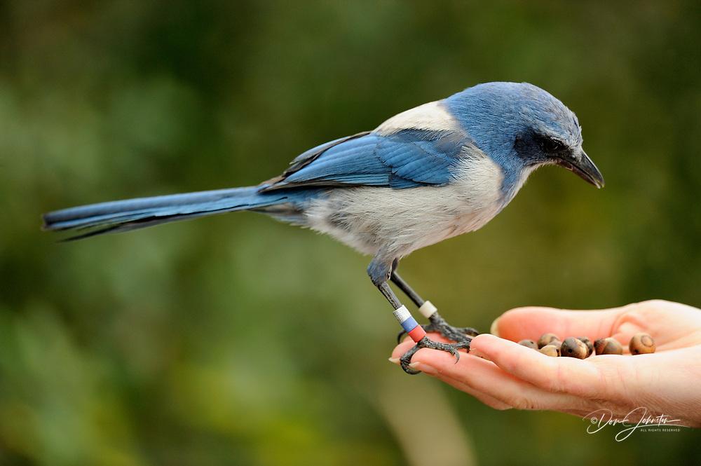 Tame Florida scrub jay coming to a visitor's hand, Oscar Scherer State Park, Florida, USA