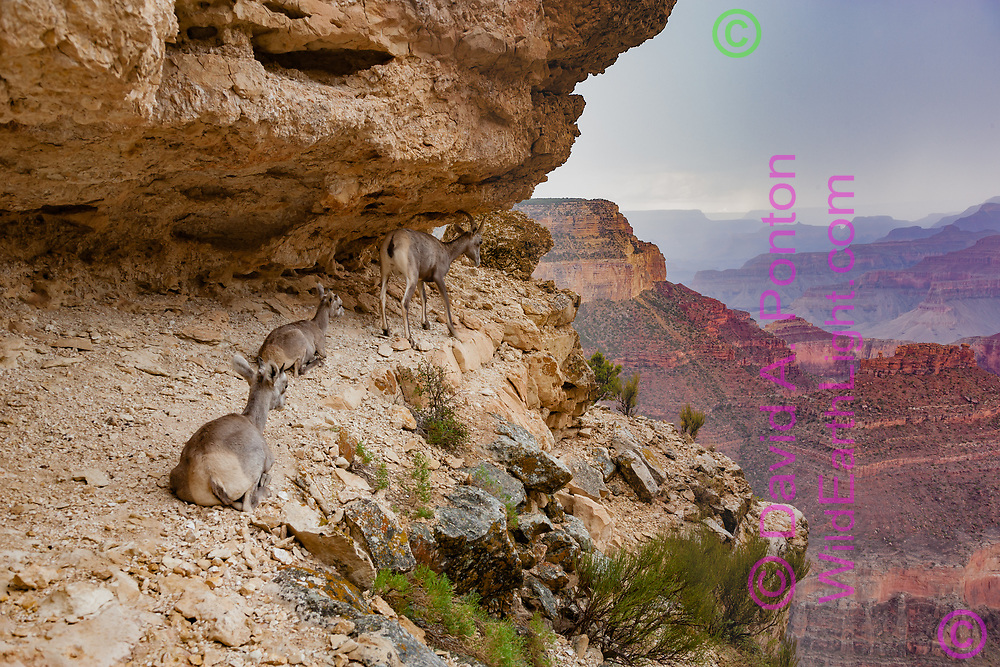 Bighorn sheep ewe with lambs on a sheltered ledge below the south rim of the Grand Canyon, Grand Canyon National Park, © David A. Ponton