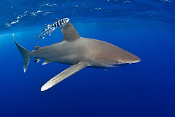 Oceanic White-tip Shark, Carcharhinus longimanus, accompanied by a pair of Pilotfish, Naucrates ductor. Both species are pelagic, open-ocean nomads, rarely coming near land or shallow water. Bahamas; Atlantic Ocean