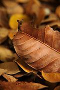 Vestida de ocre.<br /> <br /> Mantis hoja seca / Parque Nacional Camino de Cruces / Panamá.
