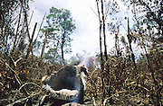 RAINFOREST FIRES DEFORESTATION, Amazon, near Boavista, northern Brazil, South America. Burnt carcass of a tree during the heavy fires in Brazil during dry season. Ecological biosphere and fragile ecosystem where flora and fauna, and native lifestyles are threatened by progress and development. The rainforest is home to many plants and animals who are endangered or facing extinction. This region is home to indigenous primitive and tribal peoples including the Yanomami and Macuxi.