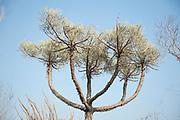 Euphorbia stenocladaTop tree, Reniala Nature Reserve, Ifaty, Madagascar, showing green succulent leaves