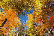 Autumn colors on deciduous or hardwood forest<br /> Silver Lake Provincial Park<br /> Ontario<br /> Canada
