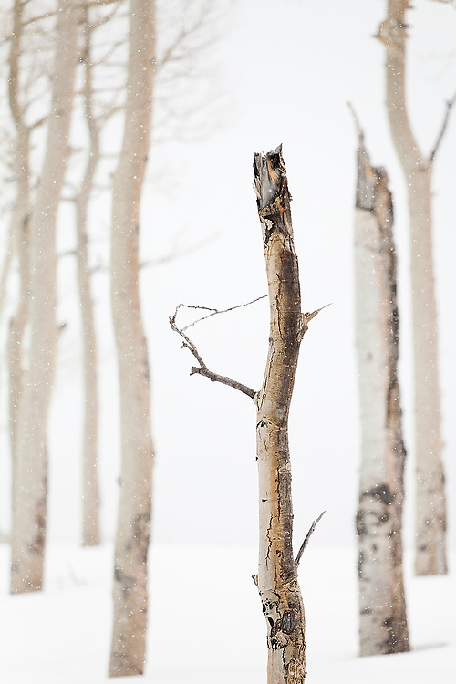 Detail of broken quaking aspen (Populus tremuloides) trees in snow, Uncompahgre National Forest, Colorado.
