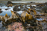 Rocky seashore with Kelp Laminaria digitata