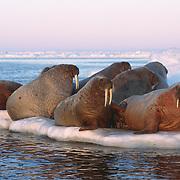 Walrus (Odobenus rosmarus) on an ice flow near Baffin Island, Canada.