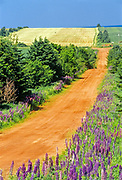 Lupines (Lupinus sp.) flowers along side iconic red soil country road<br />