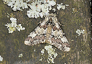 Oak Beauty Biston strataria Wingspan 23mm. A well-marked moth that rests with its wings spread flat; markings provide good camouflage against lichen-covered tree bark. Adult has marbled reddish-brown and greyish-white wings with black flecks and stippling. Flies March–April. Larva feeds on various deciduous trees including oaks. Widespread and common only in England and Wales.