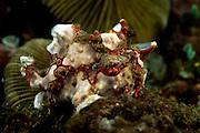 Warty frogfish or Clown Frogfish (Antennarius Maculatus) | Clown-Anglerfisch (Antennarius Maculatus) |