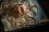 Octopus macropus, Langarmiger Krake, Blaschka-Sammlung, Institut fuer Zoologie, Universitaet WienAUT, Österreich: Octopus macropus, Langarmiger Krake, dieses Glasmodell stammt aus dem Werk der naturwissenschaftlichen Glaskünstler Leopold Blaschka (1822-1895) und Sohn Rudolf Blaschka (1857-1939). Zwischen 1863 und 1890 entstanden in der Dresdner Werkstatt Tausende Glasmodelle wirbelloser Meerestiere, die ihren Weg in Museen und Universitäten der ganzen Welt fanden. Diese Nachbildungen verblüffen bis heute, denn sie sind morphologisch fehlerfrei und halten naturwissenschaftlichen Betrachtungen bis ins Detail stand - die perfekte Verschmelzung von Kunst und Naturwissenschaft. Die Blaschkas hatten keine Lehrlinge und es gibt keine weiteren Nachfahren. Vater und Sohn haben das Geheimnis ihrer einzigartigen Technik mit ins Grab genommen, Blaschka-Sammlung, Institut für Zoologie, Universität Wien | AUT, Austria: Octopus macropus, White-Spotted Octopus, this glass model originated from the work of the scientific glass artists Leopold Blaschka (1822-1895) and his son Rudolf Blaschka (1857-1939). Between 1863 and 1890 thousands of glass models of invertebrates sea animals developed in the workshop in Dresden, which found their way in museums and universities of the whole world. These reproductions amaze until today, because they are morphologically exact and withstand scientific examinations in detail - the perfect fusion of art and natural science. The Blaschkas didn?t have apprentices and it gives no further descendants. Father and son took the secret of their inimitable technology also in the grave, Blaschka-Collection, Institute of Zoology, University Vienna |