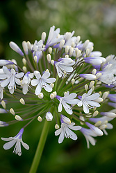 Agapanthus Queen Mum syn. 'Pmn06' - African lily