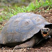 South America, Ecuador, Galapagos, Santa Cruz Island. Galapagos Tortoise with mouth open.