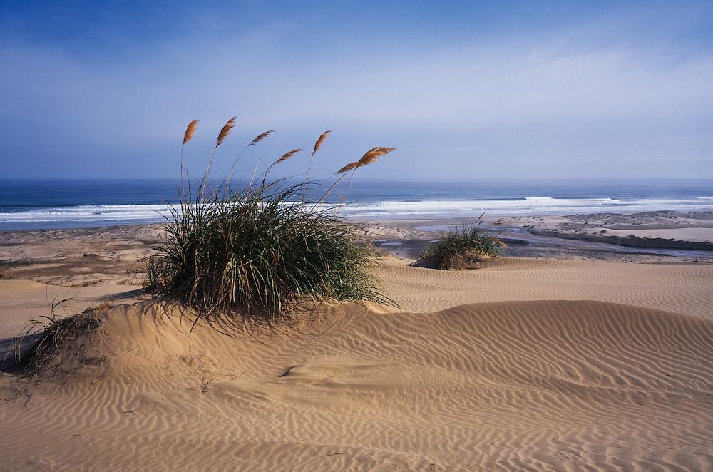 Toi Toi beach grass plants sway in coastal breeze along New Zealand's ninety mile beach near Ahipara in the far north of the North Island.