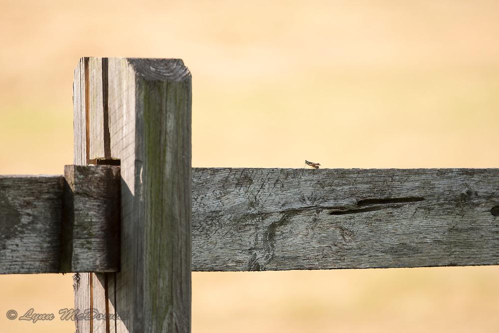 Grasshopper at sunset