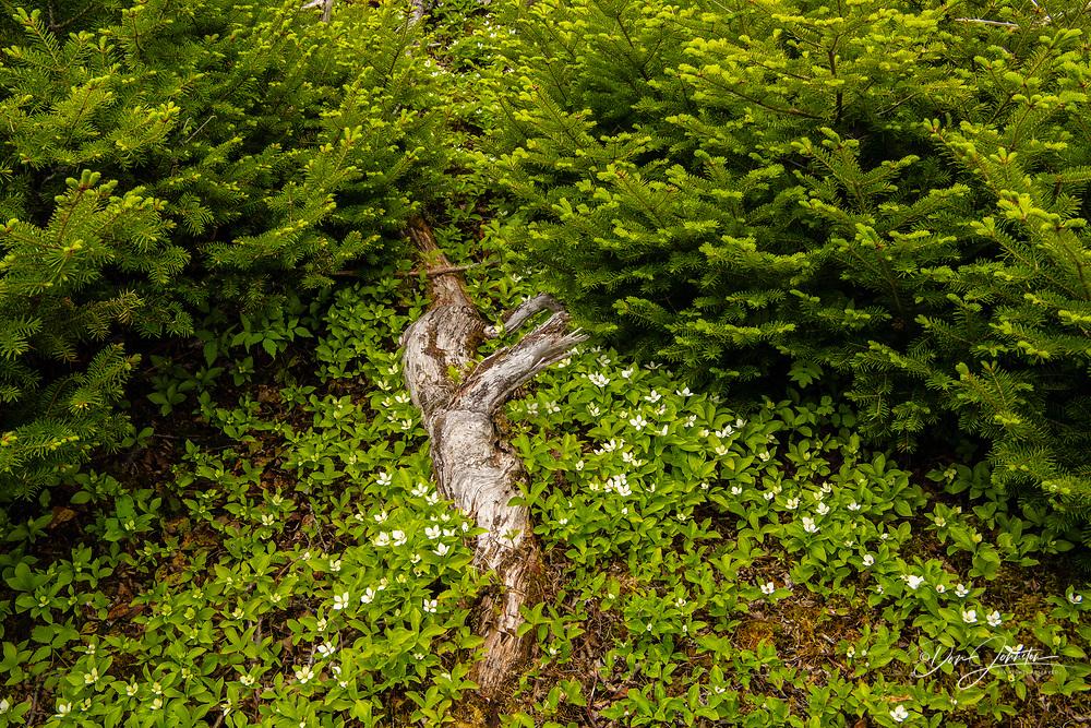 Boreal vegetation in late spring. Bunchberry (Cornus canadensis), Gros Morne National Park, Newfoundland and Labrador NL, Canada