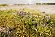 Sea lavender Limonium vulgare) on shores of Poole Harbour. Dorset, UK.