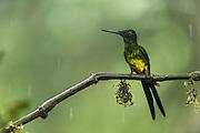 Empress Brilliant (Heliodoxa imperatrix)<br /> Mashpi Rainforest Biodiversity Reserve<br /> Pichincha<br /> Ecuador<br /> South America