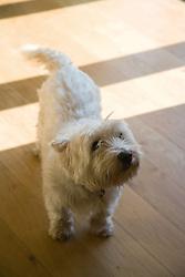 Little white dog,