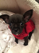 """My dog went from cute to ugly<br /> <br /> What a difference a year makes.<br /> When Faye Klysz chose a super cute Chihuahua puppy as a gift from her husband at Christmas last year, she imagined being the envy of her friends in trendy Leigh-on-Sea, Essex.<br /> Fast-forward 12 months and the picture is very different, with pals branding Busby """"the ugliest dog on Instagram"""". With more than 2,800 followers on social media, @BusbyTheRatDog is gaining a fan base for all the wrong reasons.<br /> Faye said: """"I picked Busby when he was two days old because he was really cute. He was all smooth-haired and beautiful. His mum and dad were both stunning; real show dogs.<br /> """"But, by the summer, his hair had completely taken over and become completely freaky!""""<br /> Busby has left his new family and even the experts baffled as to his bizarre appearance.<br /> """"Busby is from a litter of five and all the others are as beautiful as the mum and dad with their lovely smooth hair,"""" said Faye. """"The breeder said they've never had a dog like Busby and even the vet said they'd never come across one like him from such pretty parents.<br /> """"He's a complete throwback; a bit of a freak of nature.""""<br /> While his owner thought her pint-sized pup would draw attention for his good looks, quite the opposite has become true.<br /> """"People stop me in the street to ask what he is,"""" said Faye, who also has a Boxer dog called Benson. """"They even say 'oh isn't he pretty' and I reply 'no he's not, he's really ugly'! He is really cute, but only because he is so ugly.<br /> """"A friend suggested I set up an Instagram account for him and within a couple of months he has attracted almost 3,000 followers. I've got friends with business accounts who say they can't achieve anywhere near that kind of following. I try and take one or two photos a day of him to post and he's creating quite a stir on social media.<br /> """"He's absolutely gorgeous to me. He's a showstopper, that's for sure.""""<br /> <br /> Photo sh"""