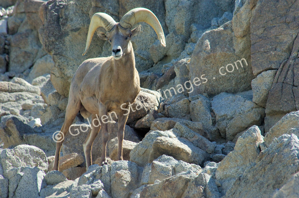 Ram<br /> <br /> The Desert Bighorn Sheep is a subspecies only found in the desert regions of the southwestern United States. Listed as a federal endangered species in March of 1998. With the combination of loss of habitat due to urban development drought and disease their numbers and areas of distribution have plummeted in the past 50 years. <br /> <br /> The Borrego Desert bighorn sheep reached a low of only 280 animals in 1996. Since being inluded on the federal endangered species list , their numbers have recovered to about 600. <br /> <br /> Their coloration allows them to blend almost perfectly into their desert habitat.    <br /> <br /> During the heat of mid day Bighorns often retire to shaded areas or high spots to lie down and chew their cud. <br /> <br /> In heavy drought years these very reclusive animals can be forced into lower elevation areas in search of food and water. This group was foraging just off the established trail in Borrego Palm Canyon. <br />   <br /> Desert Bighorns thrive in an environment that is almost waterless and relatively barren of vegetation.<br /> <br /> Males are called rams. When mature they fully develop their distinctive spiraled horns.    <br /> <br /> Females are called ewes. They have horns but don't develop the heavy spiraled shape of a mature ram.    <br /> <br /> Range: Southwestern United States    <br />   <br /> Species: Ovis canadensis nelsoni