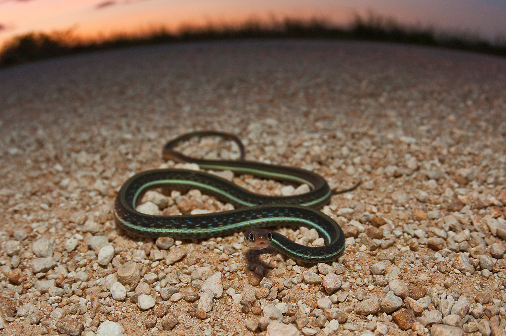 A Bluestribed Ribbon Snake, Thamnophis sauritus nitae, crosses a gravel road in Big Cypress National Preserve in the Everglades, Florida, United States.