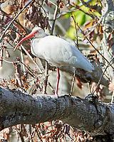 White Ibis (Eudocimus albus). Sawgrass Lake Park. Pinellas County, Florida. Image taken with a Nikon D700 camera and 300 mm f/2.8 VR lens and 2.0x TC-E teleconverter.