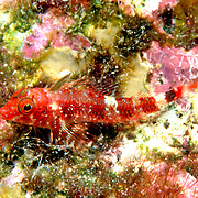 Matador Triplefin inhabit shallow patch reefs, perching in the open on sponges and coral rock with algae; picture taken Puerto Rico.