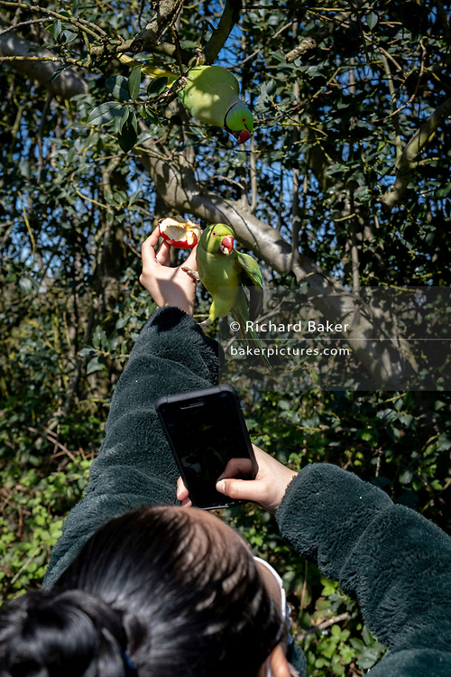 Park users feed the very common green Parakeets by hand, in Kensington Park, on 2nd April 2021, in London, England. According to the RSPB, the ring-necked, or rose-ringed, parakeet is the UK's most abundant naturalised parrot. It became established in the wild in the 1970s after captive birds escaped or were released. It is a well-known resident of the greater London area, roosting communally in large flocks. The population has been increasing steadily, though it remains concentrated in south-east England. The ring-necked parakeet's native range is a broad belt of arid tropical countryside stretching from west Africa across lowland India south of the Himalayas, where it is a common bird.