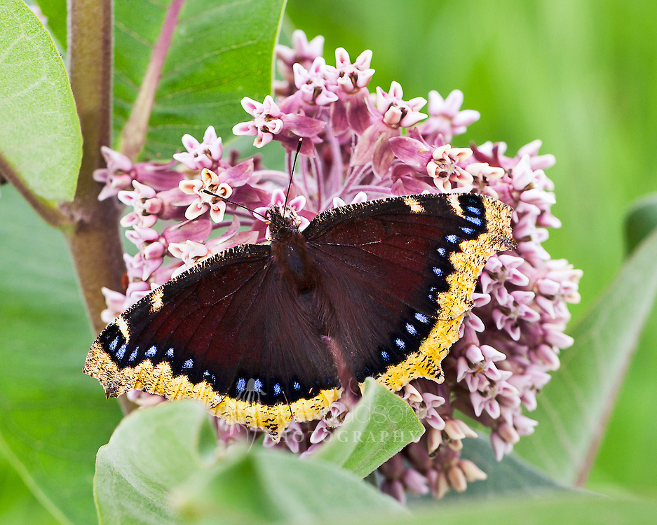 Here a Mourning Cloak butterfly feeds on the nectar of the common milkweed flower. This awesome butterfly does not migrate, but instead has the amazing ability to hibernate and survive through the very cold winters on the prairie. To survive, they produce chemicals in their body that prevent them from freezing.<br /> <br /> Mourning Cloak (Nymphalis antiopa)
