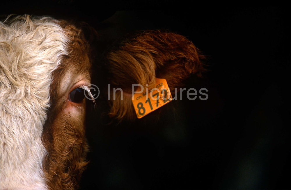 """The tagged ear and one eye of a dairy cow, wintering in a barn of a family farm in rural Alsace, western France. Its orange label shows the number 8172, identifying it as owned by the Kessler family who have a herd of cows as well as ducks from which they make Foie-Gras. The farm is in the french village of Boofzheim, a commune in the Bas-Rhin department in Alsace in north-eastern France. Its name is probably derived from the French """"boeuf"""" (bull or ox)."""