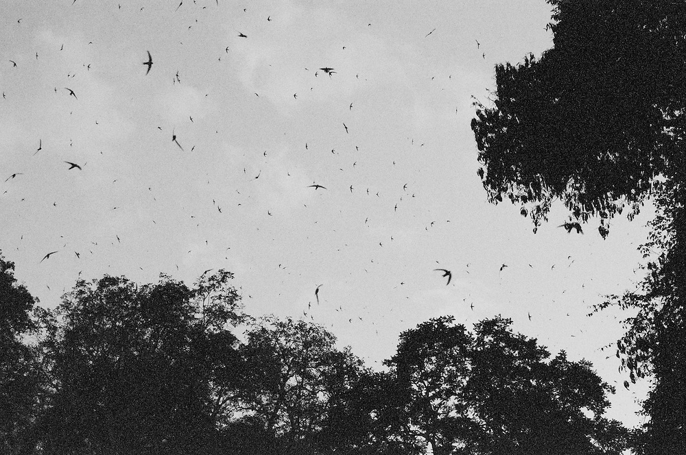 Swifts returning to their roost for the night, Mae Hon Son, Thailand.