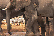 A warthog (Phacochoerus africanus) sneaks in and around a herd of thirsty elephants (Loxodonta africana) at a water hole to try to get a drink during a drought, Savuti, Botswana