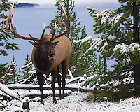 I felt lucky to have seen this large bull elk on the edge of Yellowstone Lake. The first snowfall of the season had just ended. The elk was walking parallel to the road behind a buck fence which allowed me to get over a hundred shots. The elk were very active this week as they were rutting. Every night they could be heard bugling near the campground.