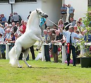 09/08/2012 Repro free first use. Ciarán Curran from Moycullen with his stallion Glencarrig Knight winner of the Class 8 (4-6 years)  at the Connemara Pony Show in Clifden County Galway . Photo:Andrew Downes.