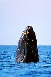 humpback whale spyhopping, .Megaptera novaeangliae, .Hawaii (Pacific).
