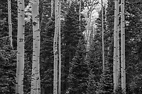 Black and white of aspens and spruces in Colorado's San Juan Mountains, USA