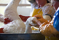 White Pelican being cleaned at Fork Jackson by employees of Tri- State Bird Rescue hired by BP to be in charge of bird rescue. <br /> Tri-State Bird Rescue and Research lab in Buras, Louisiana where birds coverred in BP oil are brought to be cleaned and rehabilitated.