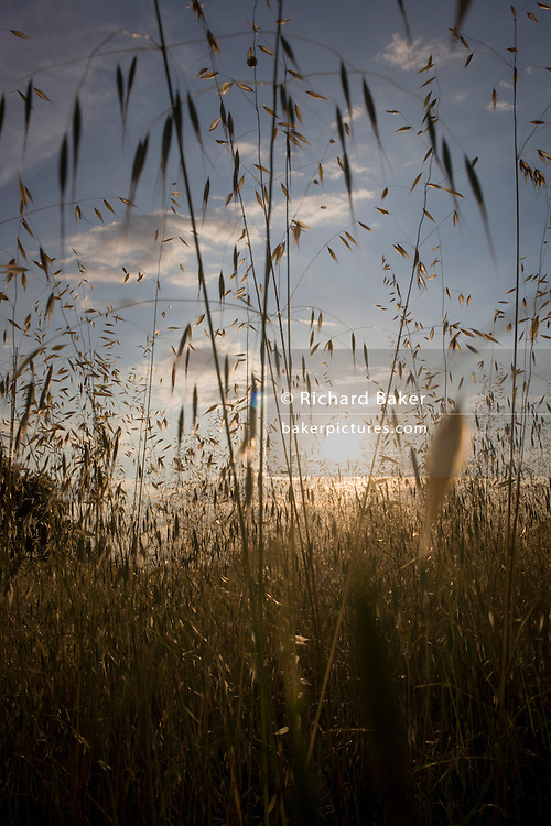 Setting sun and long grasses late on a summer's day in Langlade, Charente-Maritime, France.