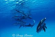 Atlantic spotted dolphins, Stenella frontalis, socializing,<br /> Bahamas ( Atlantic )