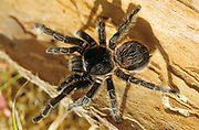 Mexican Red-kneed Tarantula (Brachypelma smithii), an endangered species from Central America and Mexico.